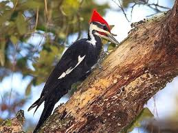 Woodpeckers are focus of Spa winter walk
